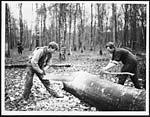 D.668Cross-cutting a tree